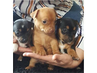 Jackawawa pups for sale