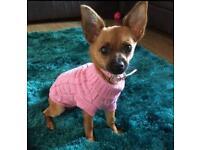 Chihuahua x jack bitch