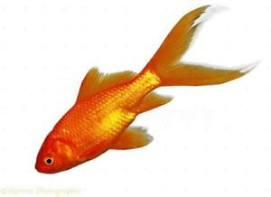5 LARGE GOLDFISH TO GIVE AWAY