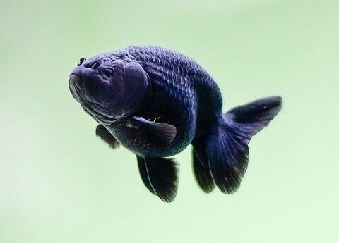 Black ranchu goldfish for sale in musselburgh east for Baby carp for sale