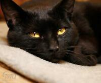 "Adult Female Cat - Domestic Short Hair-black: ""Minxy"""