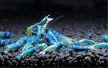 Shrimps Blue Balt Cabramatta West Fairfield Area Preview