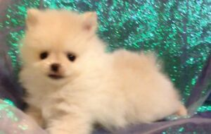 RESERVED  TEACUP MALE POMERANIAN