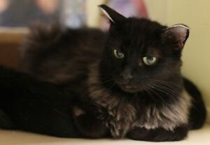 "Adult Female Cat - Domestic Medium Hair: ""Gailis"""
