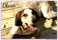 """Young Male Dog - English Coonhound: """"Oliver ON HOLD"""""""