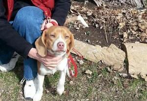 """Young Male Dog - Beagle: """"Buster"""""""