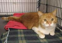 """Adult Male Cat - Domestic Short Hair - orange and white: """"Tom"""""""