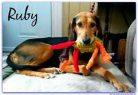 Adult Female  - Black and Tan Coonhound-Greyhound