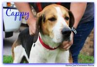 """Adult Male Dog - Treeing Walker Coonhound: """"Cappy"""""""
