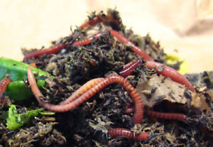 RED WIGGLERS! Vermi-Compost Kits & Worm Castings For Sale