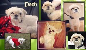 LITTLE DASH NEEDS A FOSTER OR FOREVER HOME