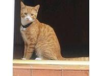 Ginger Male Kitten for sale