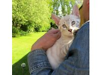 Bengal snow rosetted kitten for sale