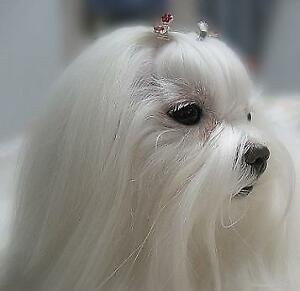Wanted Maltese puppy