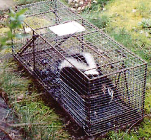 Skunk trapping and relocating