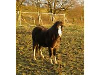 reg welsh pony section A 4yr old