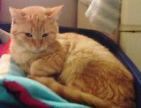 "Adult Male Cat - Domestic Short Hair: ""Bayou"""