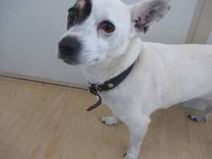 Jack Russell (Jarla) is ready for adoption York York Area Preview