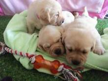 Labrador Puppies Looking for Loving Homes:) West Perth Perth City Preview