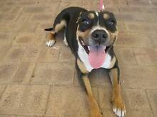 Staffy X (Amber) is ready for adoption. York York Area Preview