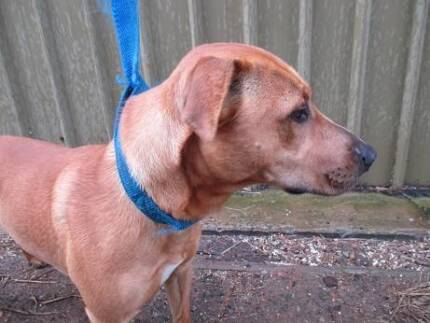 Ridgeback X Staffy Voodoo is ready for adoption York York Area Preview