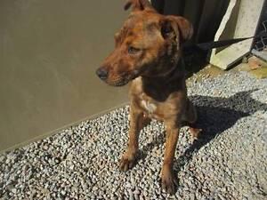 Kelpie X Staffy (Buzz) is ready for adoption. York York Area Preview