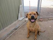 Mastif X Staffy (Krutus) is ready for adoption York York Area Preview