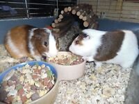 rabbits and g/ pigs in rescue