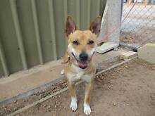 Kelpie X Terrier (Princess) is ready for adoption York York Area Preview