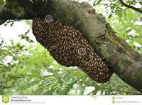 Honey Bee Swarm pick up