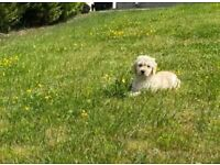F1 Goldendoodle puppies / puppy dog / male / female /