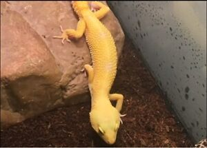 Sunglow Female Leopard gecko