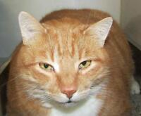 "Adult Male Cat - Tabby: ""Jacob"""