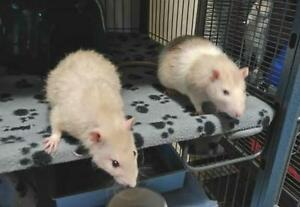 "Adult Male Small & Furry - Rat: ""Dexter & Splinter"""