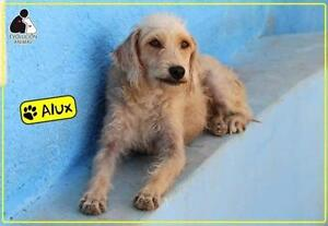 "Adult Male Dog - Terrier: ""Alux"""