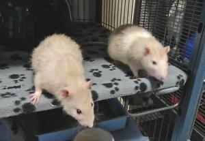 """Adult Male Small & Furry - Rat: """"Jack & Alex"""""""