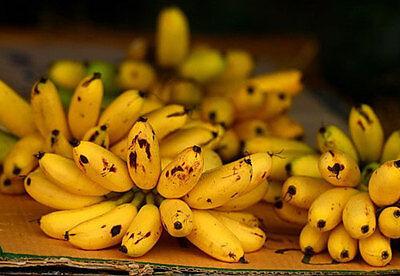Bulb MUSA AA group KLUAI KHAI Pisang Mas, Lady Finger Banana + Phyto Certificate