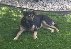 "Young Male Dog - German Shepherd Dog: ""FLOPPY"""