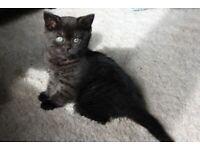 British shorthair x Kittens