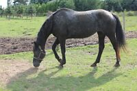 Appaloosa Mare for Sale