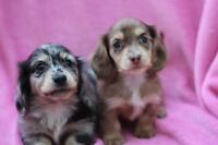 Dachshunds Mini Long Cream CKC Perm Reg'd Breeder