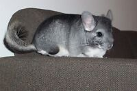 beautiful chinchilla, food, cage etc.