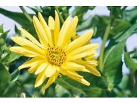 Hardy perennial plant with yellow flowers good back of border plant growing to 2 metres high