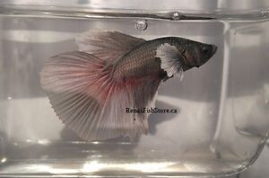 Dumbo Ear/Elephant Ear Betta Fish London Ontario image 3
