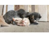 Beautiful Ragdoll x Kittens Delivery Available