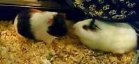 2 Free Female Guinea Pigs