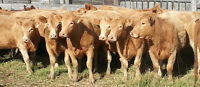 Bred Cows & Heifers