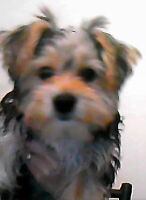 4 Month Old Male Yorkshire Terrier Puppy For Sale