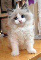Looking for a cute Ragdoll or Sliver shaded kitten