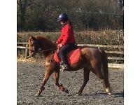 13.2 riding pony